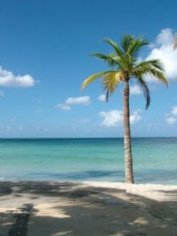 Jamaican_beach_palm